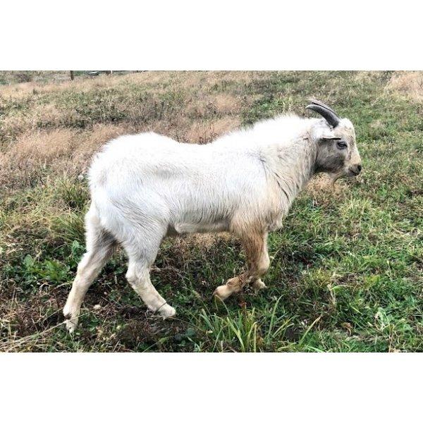 Goat Test 2
